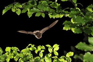 Három új denevérfaj jelent meg a Pilisben