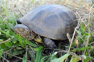 Új lakó a Pilisben: mocsári teknős