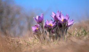 Kökörcsin virágzás a Strázsa-hegyen, kilátó látogatással