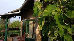 Lombtrágyát a szőlőnek - tanácsok kezdő kertészeknek