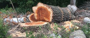 Olajjal mérgeztek meg egy fát Kesztölcön